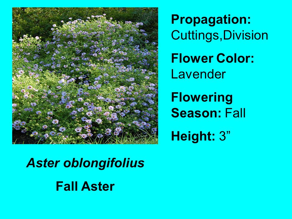 Aster oblongifolius Fall Aster Propagation: Cuttings,Division Flower Color: Lavender Flowering Season: Fall Height: 3