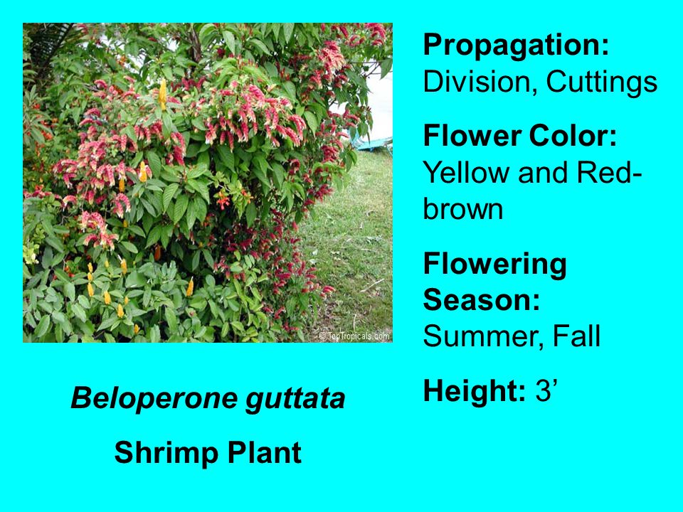 Beloperone guttata Shrimp Plant Propagation: Division, Cuttings Flower Color: Yellow and Red- brown Flowering Season: Summer, Fall Height: 3