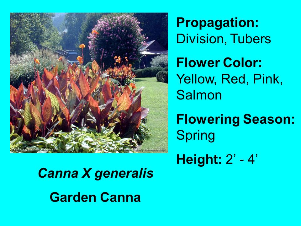 Canna X generalis Garden Canna Propagation: Division, Tubers Flower Color: Yellow, Red, Pink, Salmon Flowering Season: Spring Height: 2 - 4