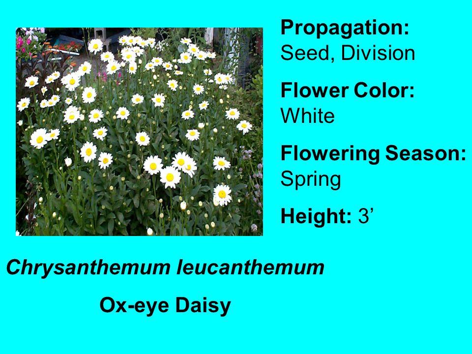 Chrysanthemum leucanthemum Ox-eye Daisy Propagation: Seed, Division Flower Color: White Flowering Season: Spring Height: 3