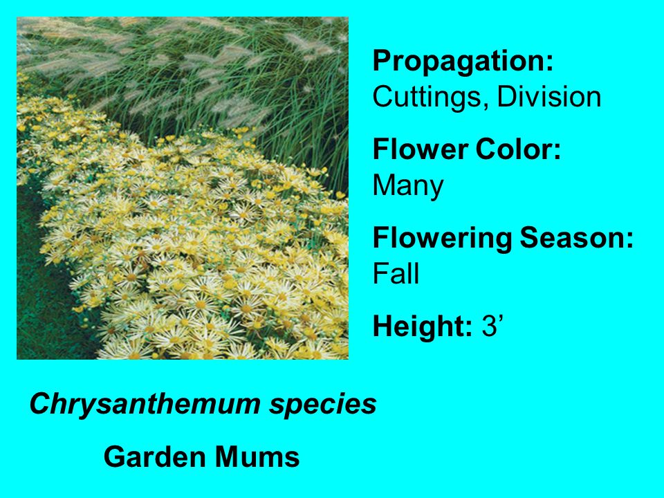 Chrysanthemum species Garden Mums Propagation: Cuttings, Division Flower Color: Many Flowering Season: Fall Height: 3
