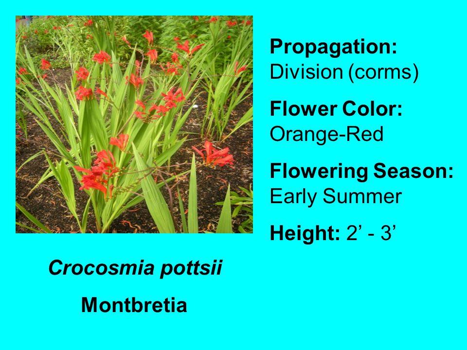 Crocosmia pottsii Montbretia Propagation: Division (corms) Flower Color: Orange-Red Flowering Season: Early Summer Height: 2 - 3