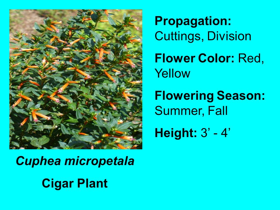Cuphea micropetala Cigar Plant Propagation: Cuttings, Division Flower Color: Red, Yellow Flowering Season: Summer, Fall Height: 3 - 4