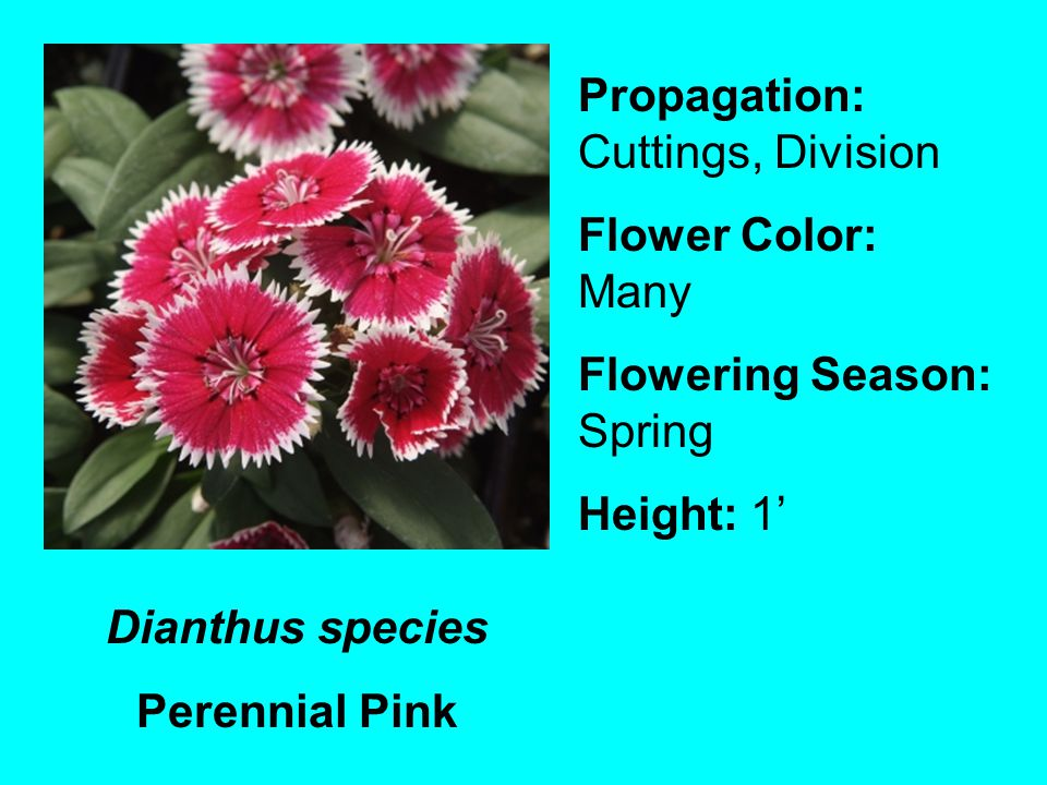 Dianthus species Perennial Pink Propagation: Cuttings, Division Flower Color: Many Flowering Season: Spring Height: 1