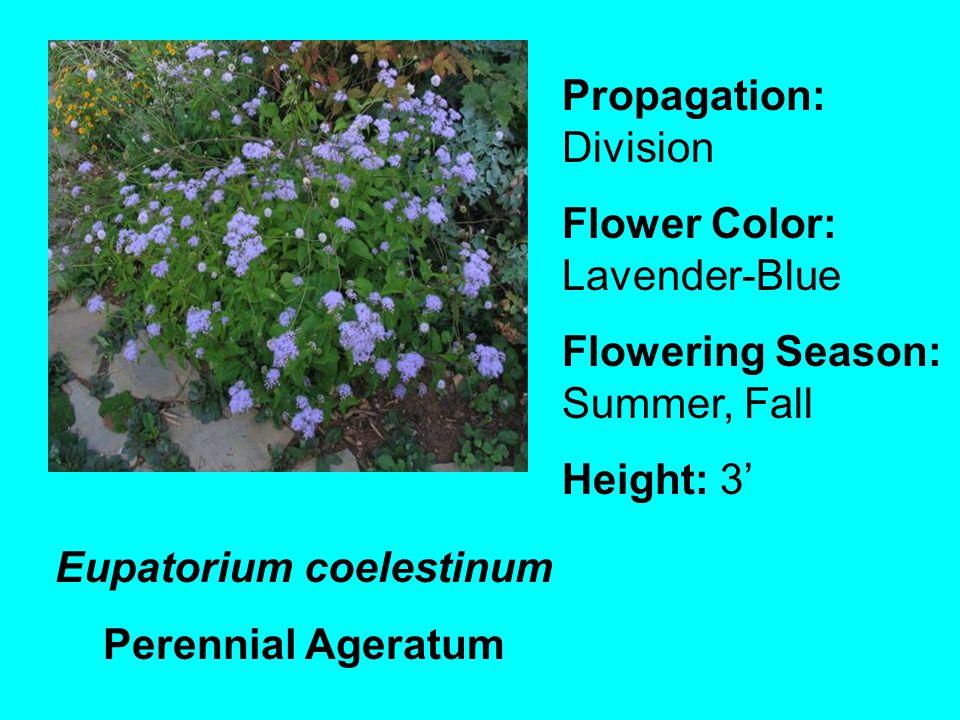 Eupatorium coelestinum Perennial Ageratum Propagation: Division Flower Color: Lavender-Blue Flowering Season: Summer, Fall Height: 3