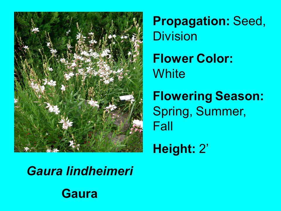 Gaura lindheimeri Gaura Propagation: Seed, Division Flower Color: White Flowering Season: Spring, Summer, Fall Height: 2