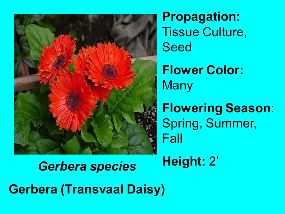 Gerbera species Gerbera (Transvaal Daisy) Propagation: Tissue Culture, Seed Flower Color: Many Flowering Season: Spring, Summer, Fall Height: 2