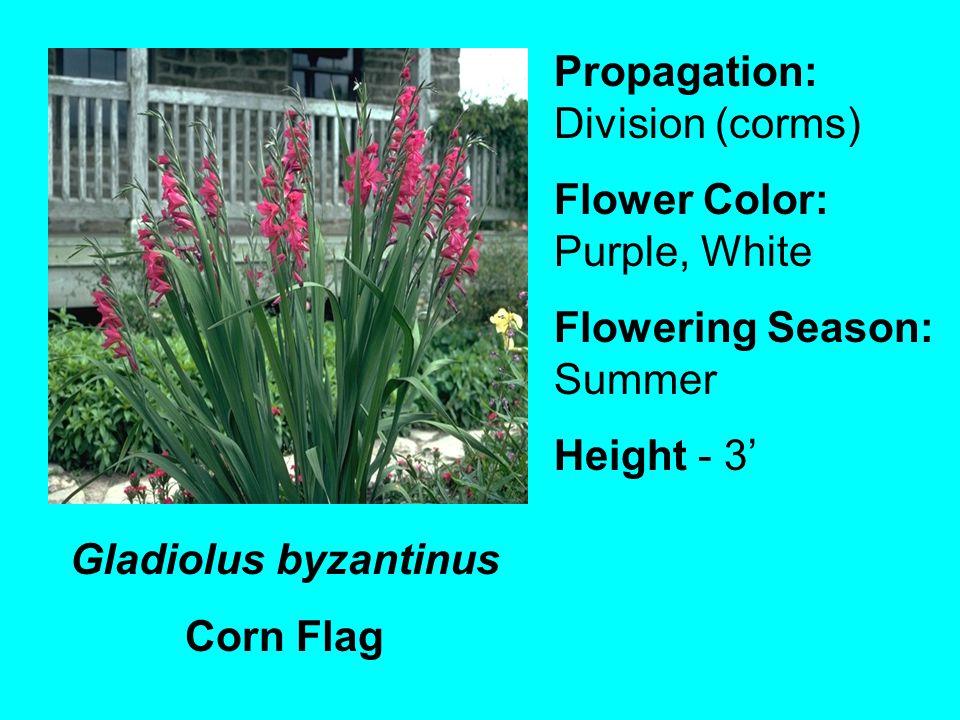 Gladiolus byzantinus Corn Flag Propagation: Division (corms) Flower Color: Purple, White Flowering Season: Summer Height - 3