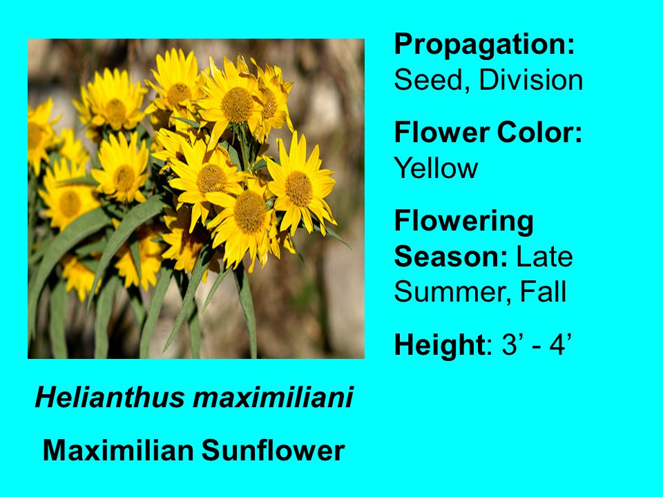 Helianthus maximiliani Maximilian Sunflower Propagation: Seed, Division Flower Color: Yellow Flowering Season: Late Summer, Fall Height: 3 - 4