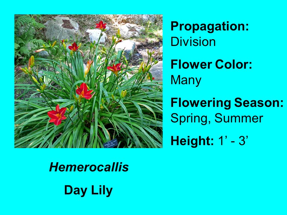 Hemerocallis Day Lily Propagation: Division Flower Color: Many Flowering Season: Spring, Summer Height: 1 - 3