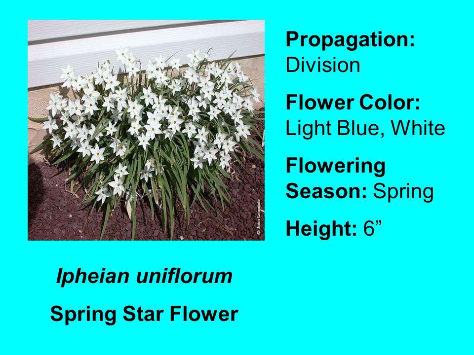 Ipheian uniflorum Spring Star Flower Propagation: Division Flower Color: Light Blue, White Flowering Season: Spring Height: 6
