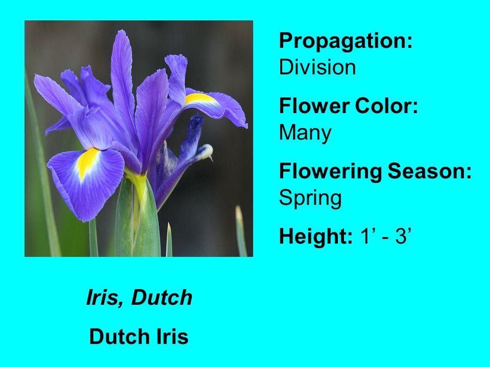 Iris, Dutch Dutch Iris Propagation: Division Flower Color: Many Flowering Season: Spring Height: 1 - 3