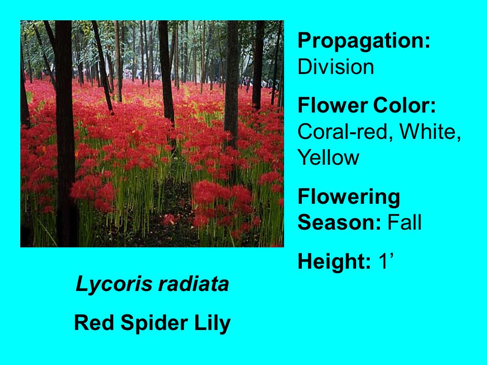 Lycoris radiata Red Spider Lily Propagation: Division Flower Color: Coral-red, White, Yellow Flowering Season: Fall Height: 1