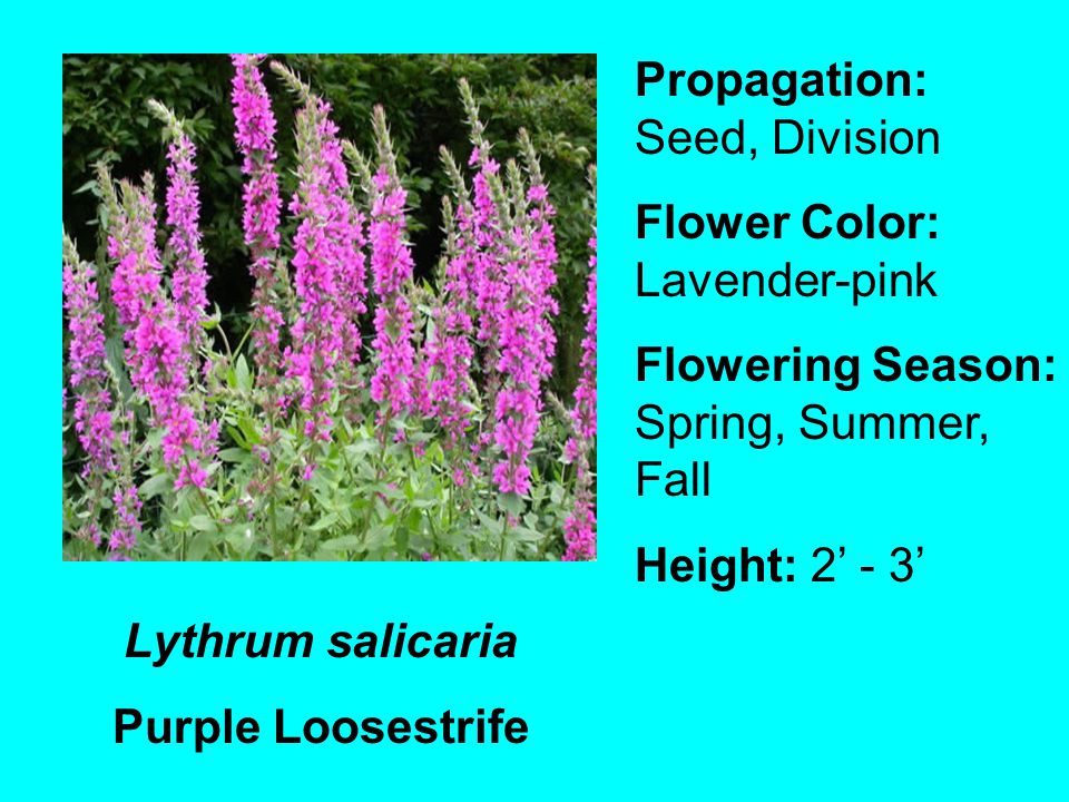 Lythrum salicaria Purple Loosestrife Propagation: Seed, Division Flower Color: Lavender-pink Flowering Season: Spring, Summer, Fall Height: 2 - 3