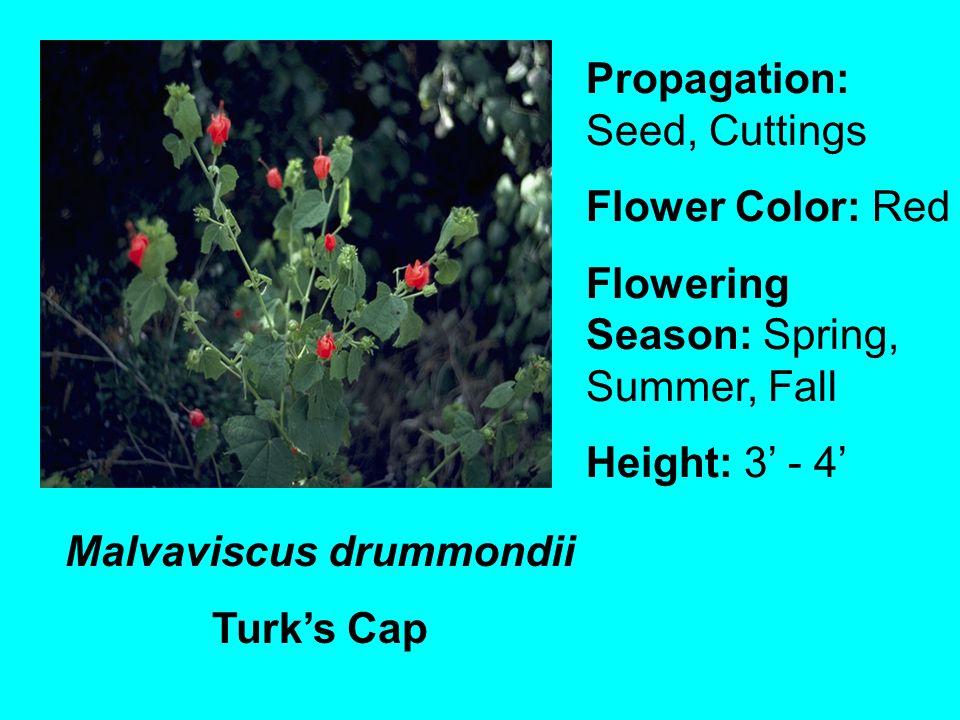 Malvaviscus drummondii Turks Cap Propagation: Seed, Cuttings Flower Color: Red Flowering Season: Spring, Summer, Fall Height: 3 - 4