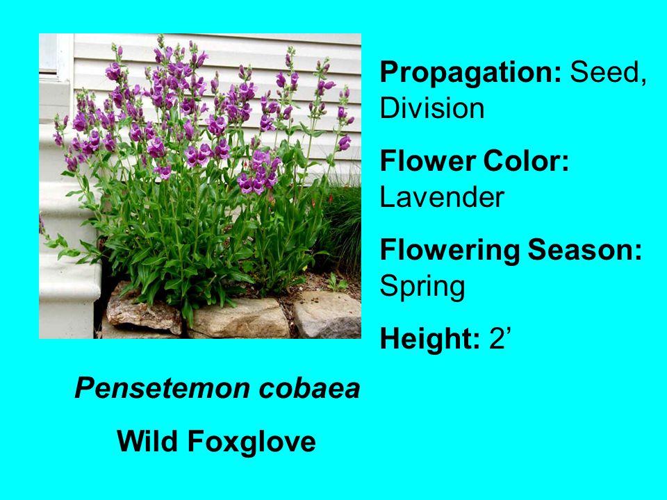 Pensetemon cobaea Wild Foxglove Propagation: Seed, Division Flower Color: Lavender Flowering Season: Spring Height: 2