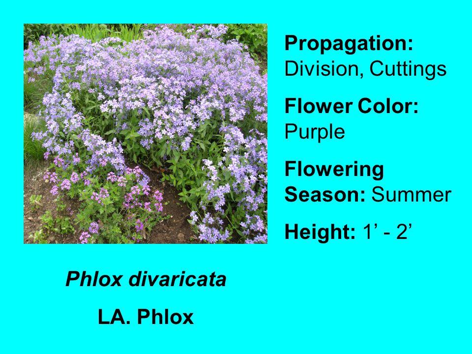 Phlox divaricata LA.