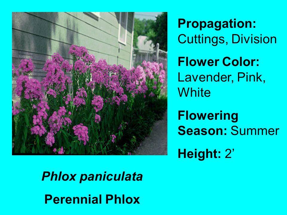 Phlox paniculata Perennial Phlox Propagation: Cuttings, Division Flower Color: Lavender, Pink, White Flowering Season: Summer Height: 2