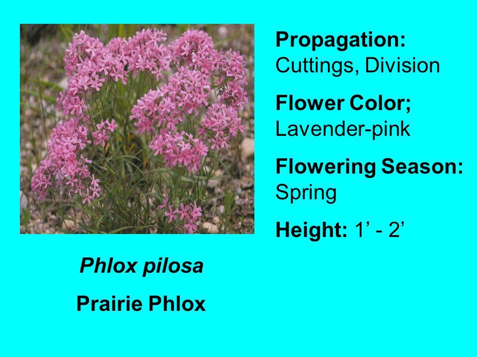 Phlox pilosa Prairie Phlox Propagation: Cuttings, Division Flower Color; Lavender-pink Flowering Season: Spring Height: 1 - 2