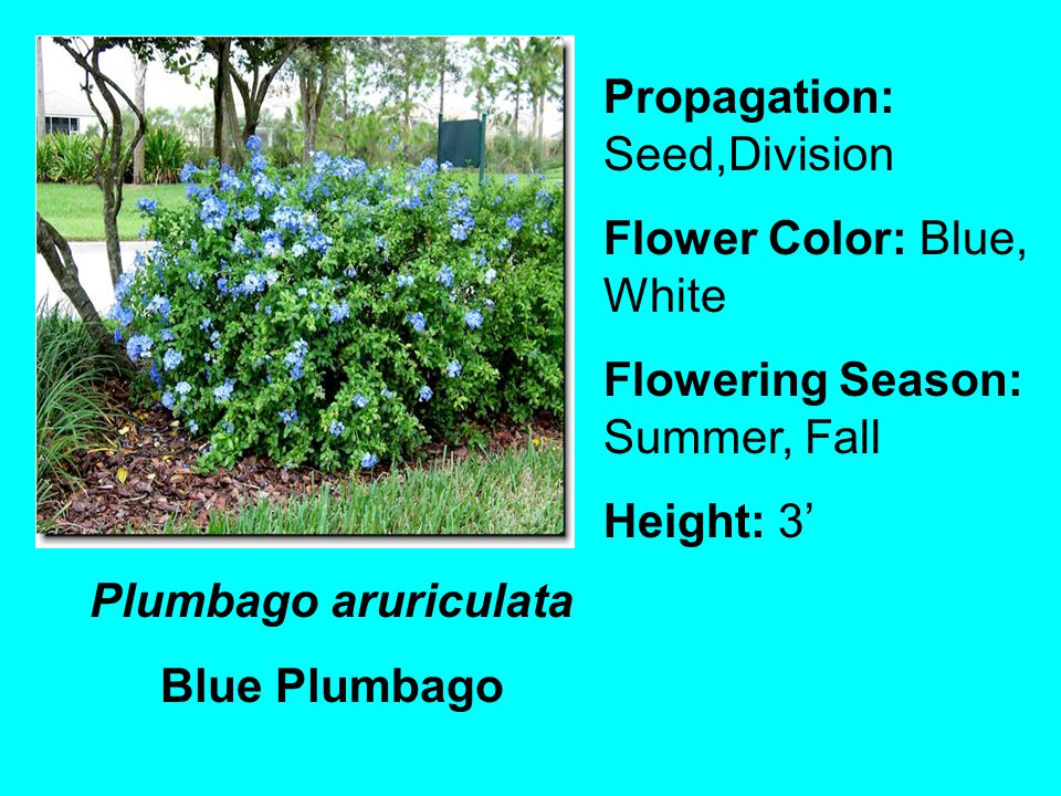 Plumbago aruriculata Blue Plumbago Propagation: Seed,Division Flower Color: Blue, White Flowering Season: Summer, Fall Height: 3