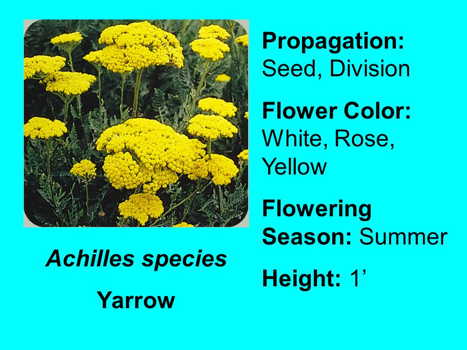 Achilles species Yarrow Propagation: Seed, Division Flower Color: White, Rose, Yellow Flowering Season: Summer Height: 1