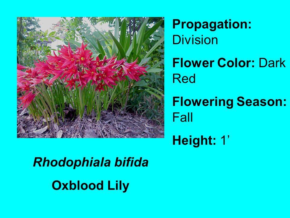 Rhodophiala bifida Oxblood Lily Propagation: Division Flower Color: Dark Red Flowering Season: Fall Height: 1