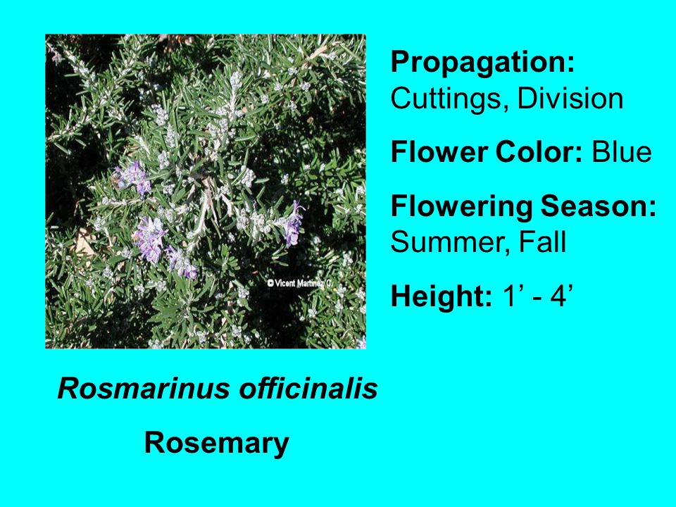 Rosmarinus officinalis Rosemary Propagation: Cuttings, Division Flower Color: Blue Flowering Season: Summer, Fall Height: 1 - 4