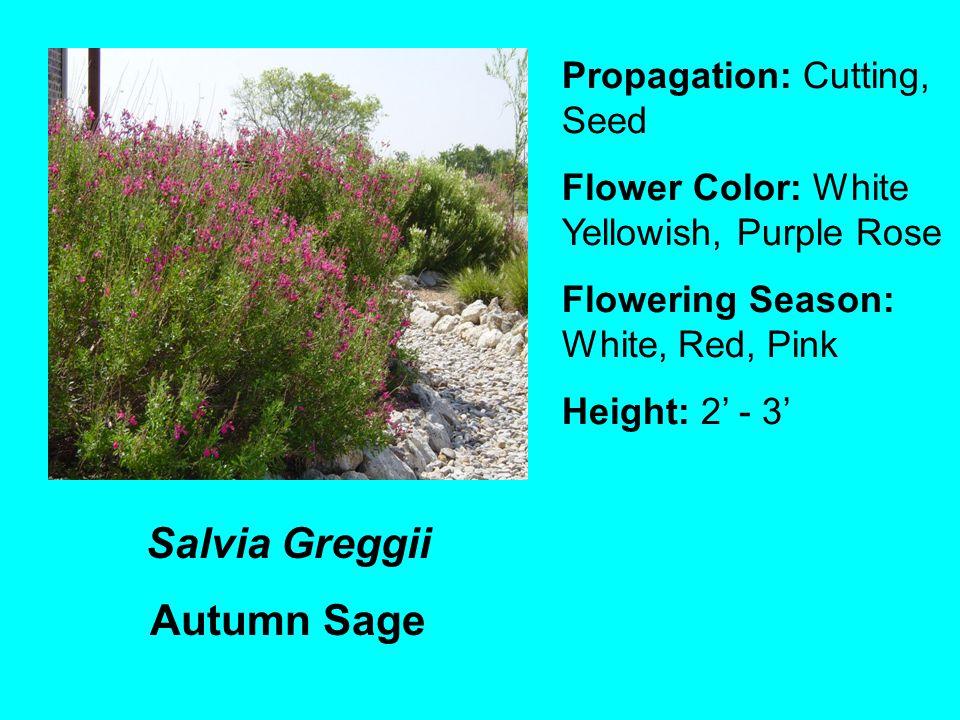 Salvia Greggii Autumn Sage Propagation: Cutting, Seed Flower Color: White Yellowish, Purple Rose Flowering Season: White, Red, Pink Height: 2 - 3