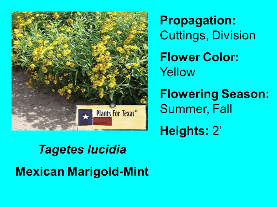 Tagetes lucidia Mexican Marigold-Mint Propagation: Cuttings, Division Flower Color: Yellow Flowering Season: Summer, Fall Heights: 2