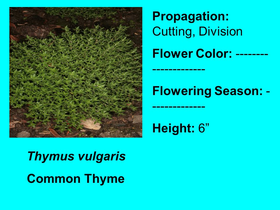 Thymus vulgaris Common Thyme Propagation: Cutting, Division Flower Color: -------- ------------- Flowering Season: - ------------- Height: 6