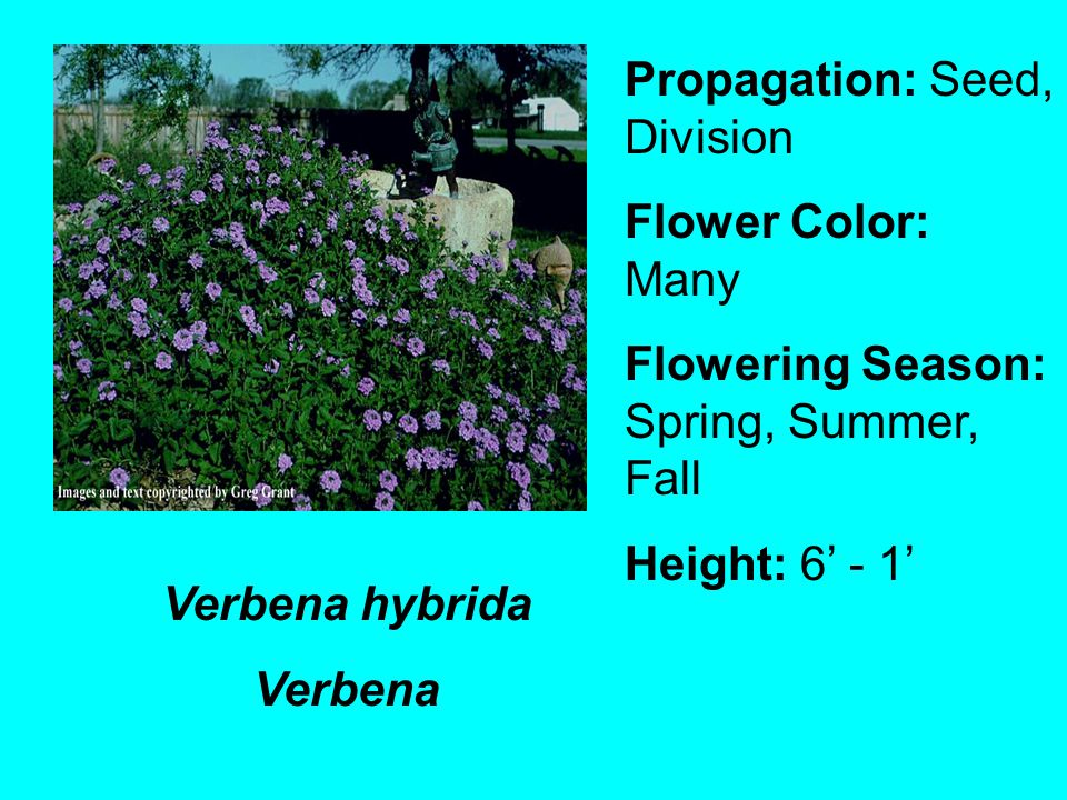 Verbena hybrida Verbena Propagation: Seed, Division Flower Color: Many Flowering Season: Spring, Summer, Fall Height: 6 - 1