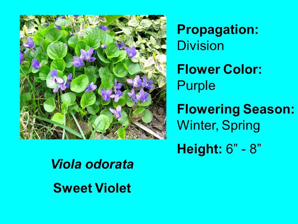 Viola odorata Sweet Violet Propagation: Division Flower Color: Purple Flowering Season: Winter, Spring Height: 6 - 8