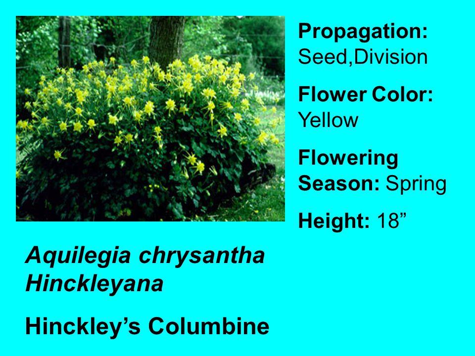 Aquilegia chrysantha Hinckleyana Hinckleys Columbine Propagation: Seed,Division Flower Color: Yellow Flowering Season: Spring Height: 18