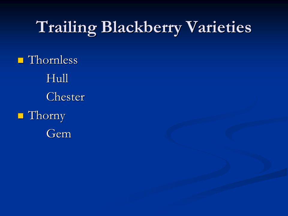 Trailing Blackberry Varieties Thornless Thornless Hull HullChester Thorny Thorny Gem Gem