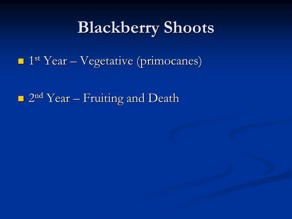 Blackberry Shoots 1 st Year – Vegetative (primocanes) 1 st Year – Vegetative (primocanes) 2 nd Year – Fruiting and Death 2 nd Year – Fruiting and Deat