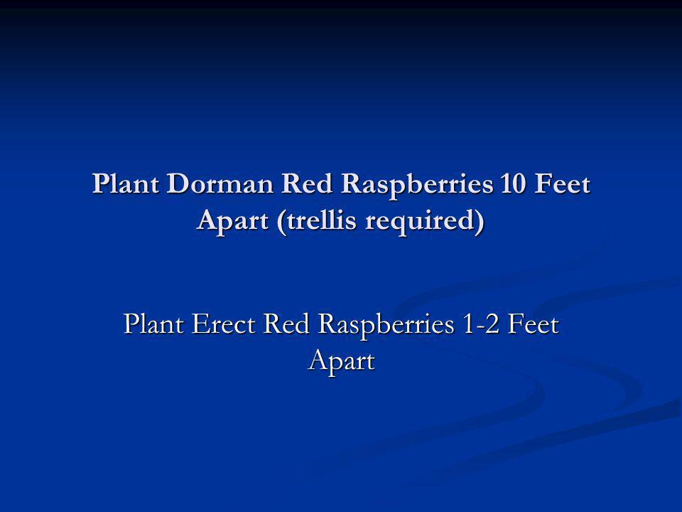 Plant Dorman Red Raspberries 10 Feet Apart (trellis required) Plant Erect Red Raspberries 1-2 Feet Apart