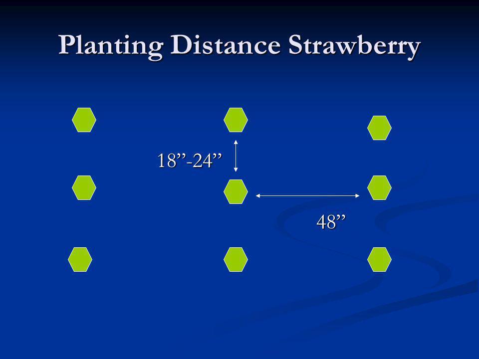 Planting Distance Strawberry 18-24 18-2448