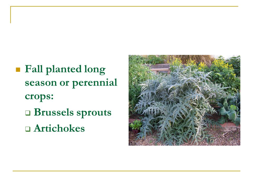 Fall planted long season or perennial crops: Brussels sprouts Artichokes