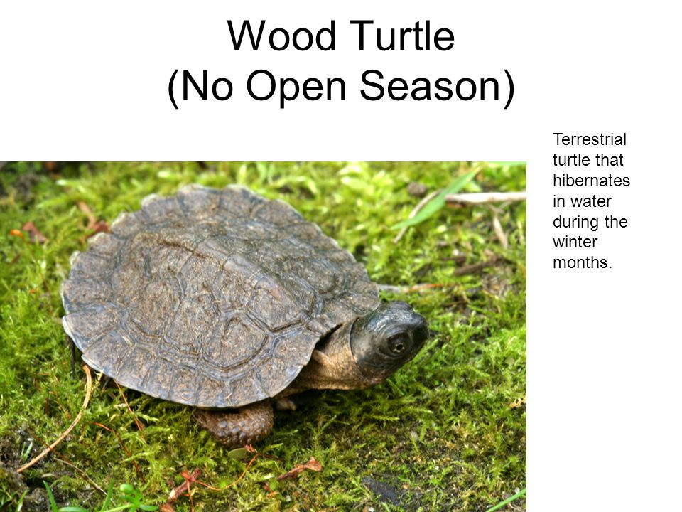 Wood Turtle (No Open Season) Terrestrial turtle that hibernates in water during the winter months.