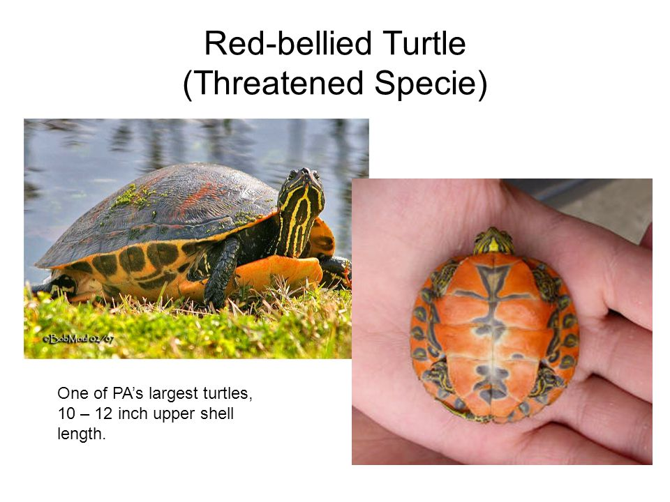 Red-bellied Turtle (Threatened Specie) One of PAs largest turtles, 10 – 12 inch upper shell length.