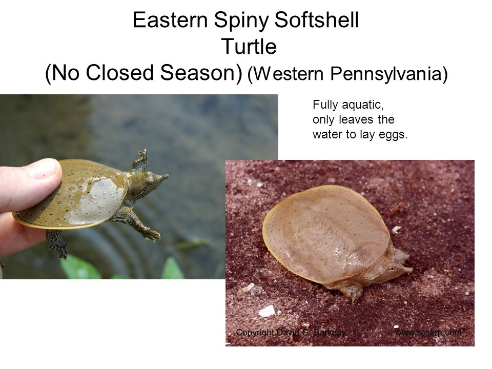 Eastern Spiny Softshell Turtle (No Closed Season) (Western Pennsylvania) Fully aquatic, only leaves the water to lay eggs.