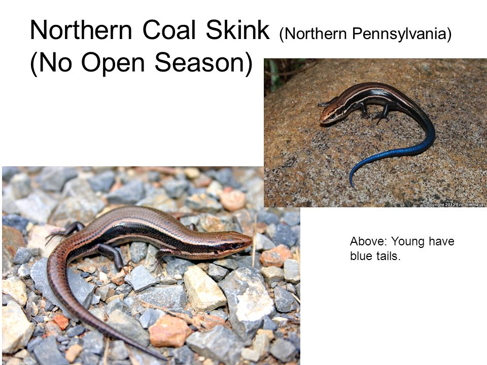 Northern Coal Skink (Northern Pennsylvania) (No Open Season) Above: Young have blue tails.