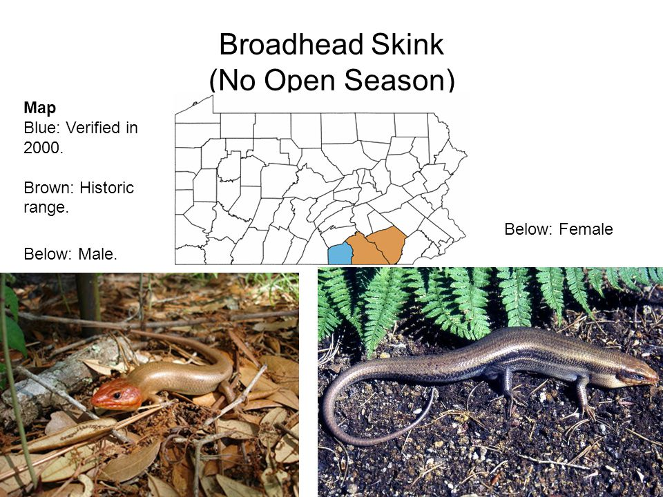 Broadhead Skink (No Open Season) Below: Female Below: Male.