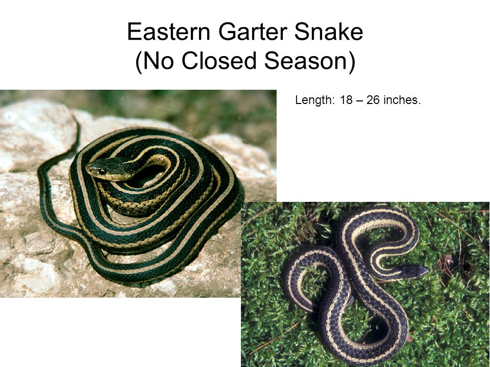 Eastern Garter Snake (No Closed Season) Length: 18 – 26 inches.
