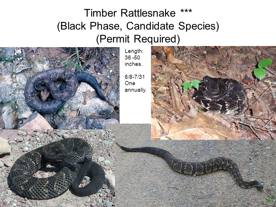 Timber Rattlesnake *** (Black Phase, Candidate Species) (Permit Required) Length: 36 -50 inches.