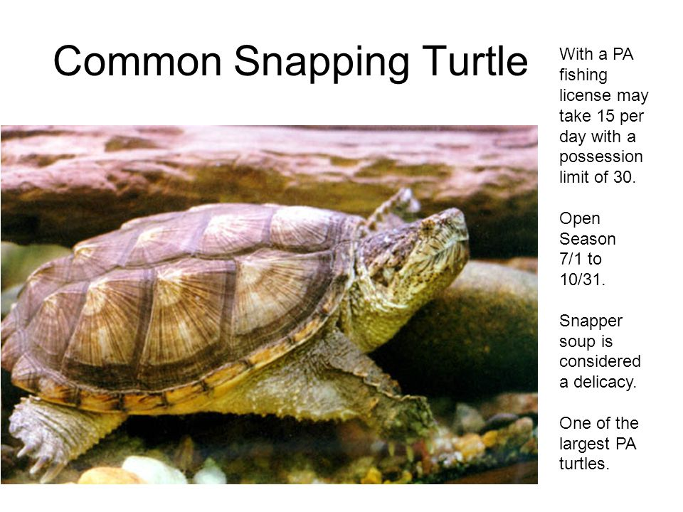Common Snapping Turtle With a PA fishing license may take 15 per day with a possession limit of 30.