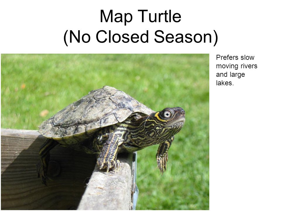 Map Turtle (No Closed Season) Prefers slow moving rivers and large lakes.