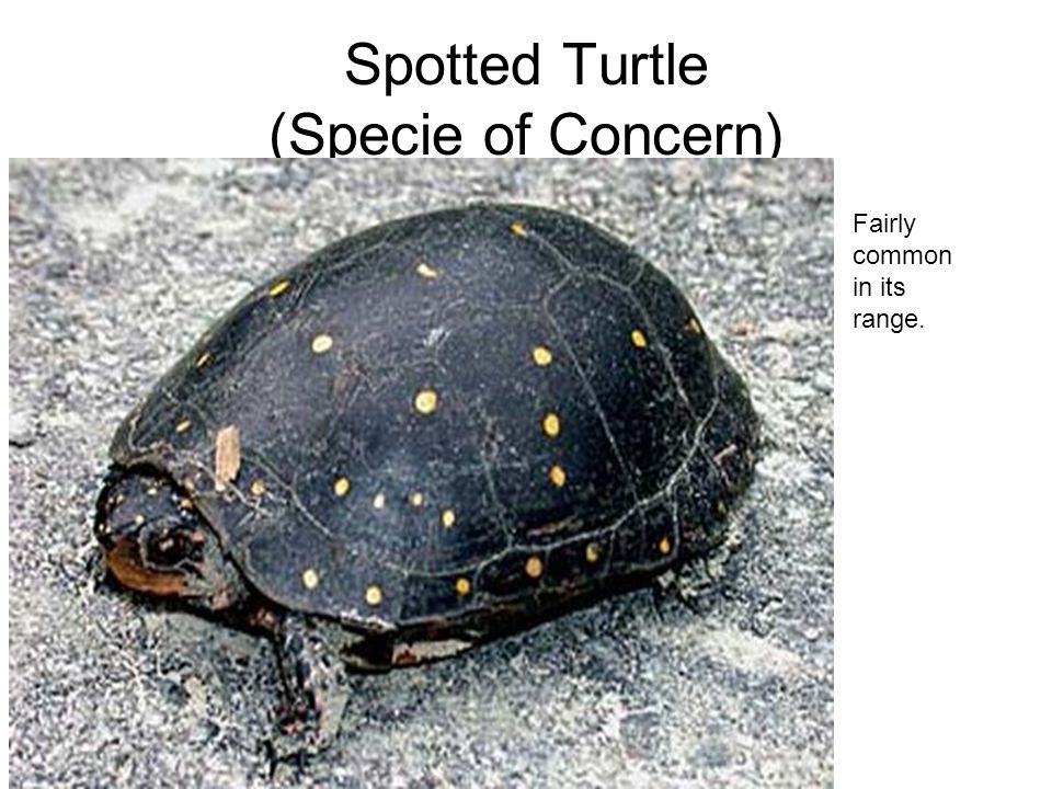 Spotted Turtle (Specie of Concern) Fairly common in its range.