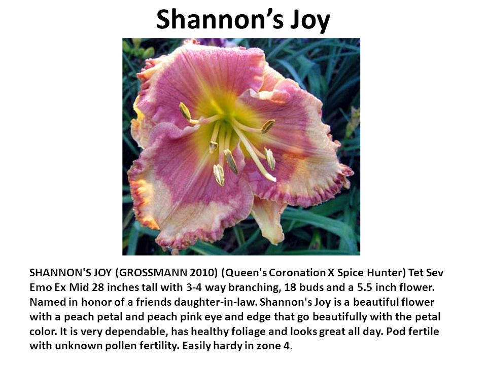 Shannons Joy SHANNON S JOY (GROSSMANN 2010) (Queen s Coronation X Spice Hunter) Tet Sev Emo Ex Mid 28 inches tall with 3-4 way branching, 18 buds and a 5.5 inch flower.