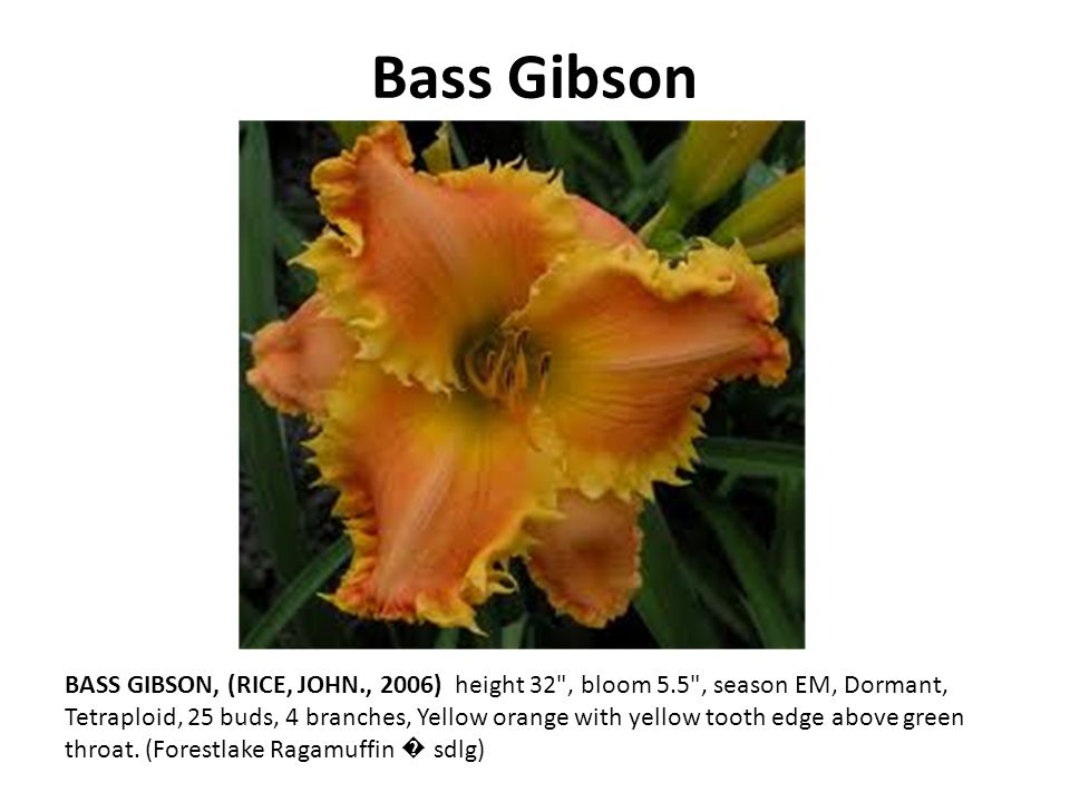 Bass Gibson BASS GIBSON, (RICE, JOHN., 2006) height 32 , bloom 5.5 , season EM, Dormant, Tetraploid, 25 buds, 4 branches, Yellow orange with yellow tooth edge above green throat.